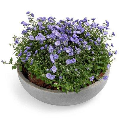 Campanula in Ceramic Pot
