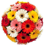 Colored Gerbera