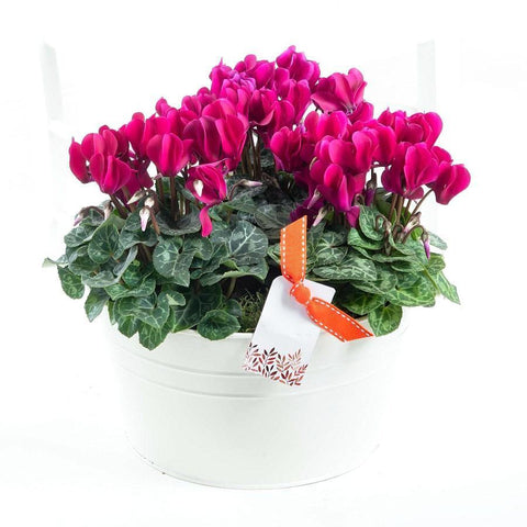 Cyclamen Trio Gift Pot
