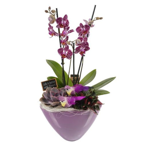 Luxury Phalenopsis Orchids Gifts with Succulent in Pot