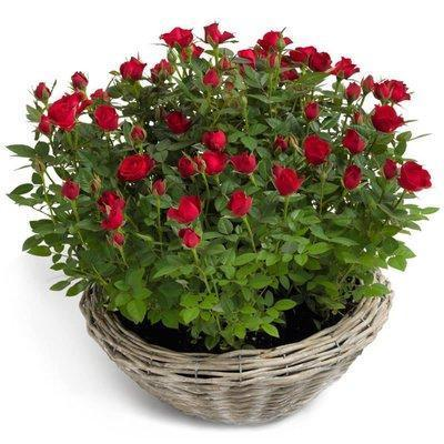 Mini Roses Plant Basket