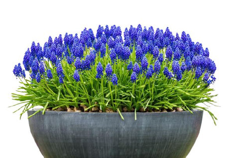 Muscari in a Pot