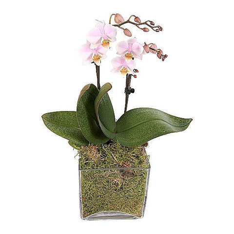 Pink Orchids Gifts in Glass Square Pot