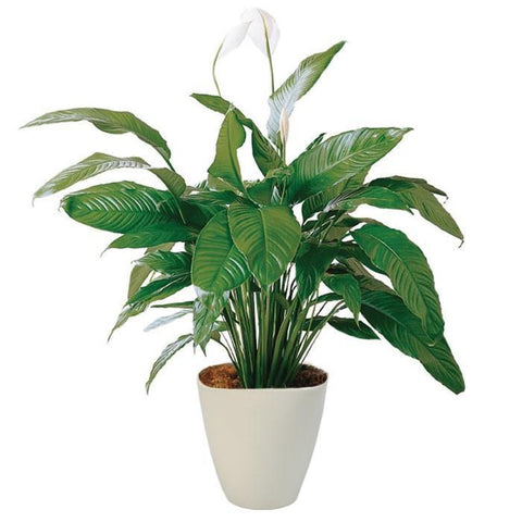 Spathiphyllum in Ceramic Oval Pot