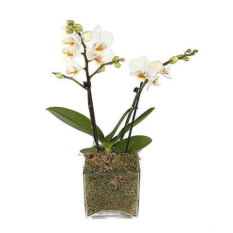 White Orchids Gifts in Glass Square Pot