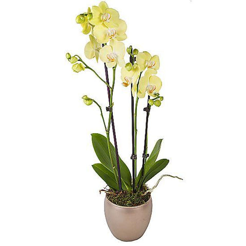 Yellow Phalenopsis Orchids Ceramic Pot