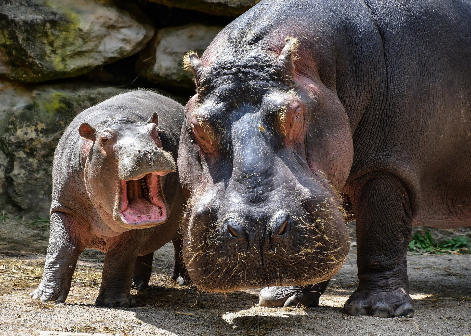 baby hippo facts