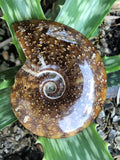 Ammonite Fossil - Little Gems Metaphysical Store