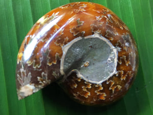 Ammonite Fossil - little-gems-metaphysical-store