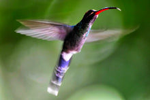 Hummingbird by Ramona Huber