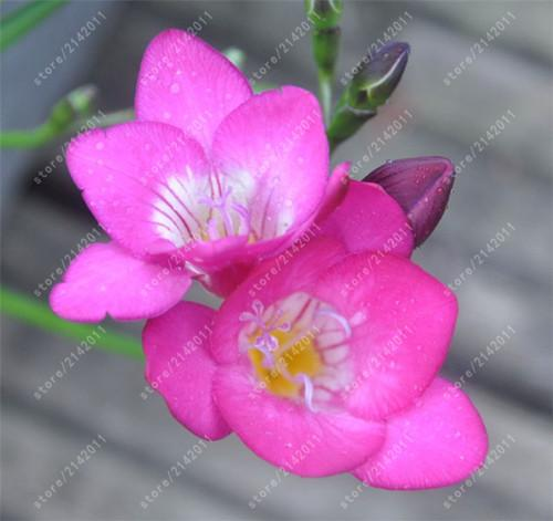 True Freesia Bulbs Indoor Potted Flowers Orchids flower bulbs ...