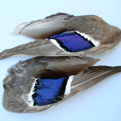 Mallard Whole Wings (pair)