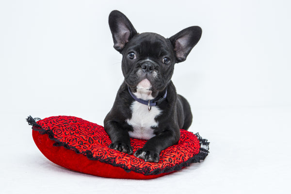 Checklist of the Vital Requirements of a French Bulldog