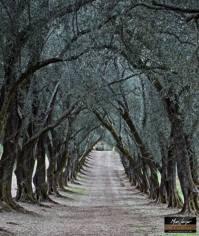 Olive Tree Tunnel
