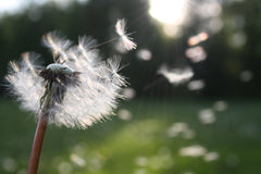 blowing a dandelion and wishes on the wind