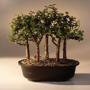 Baby Jade Bonsai Tree -Five Tree Forest Group -(Portulacaria Afra)