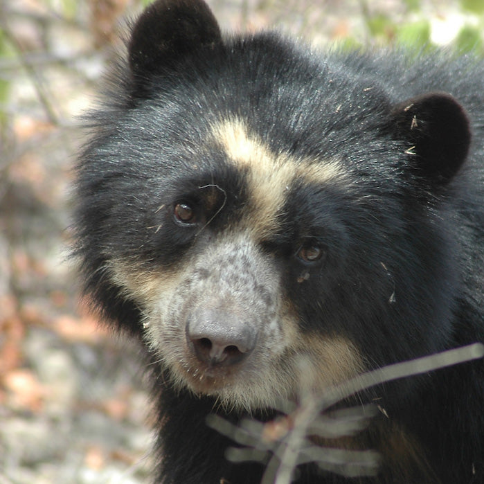 2-Spool Spectacled Bear Set