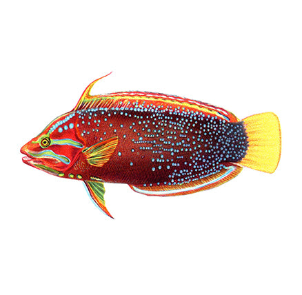 HF1002 - Yellow Tail Coris