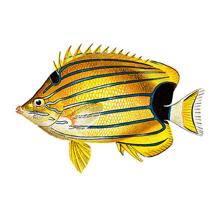 HF1004 - Blue Striped Butterfly Fish