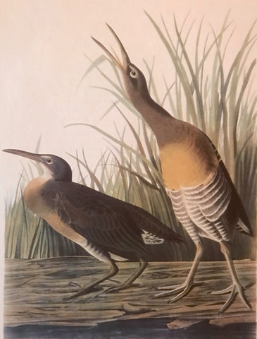 Professionally Mounted Vintage Audubon Chromolithograph - Clapper Rail