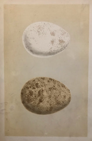 Professionally Mounted Original Antique (c1875) Chromolithograph - Eggs of a Golden Eagle