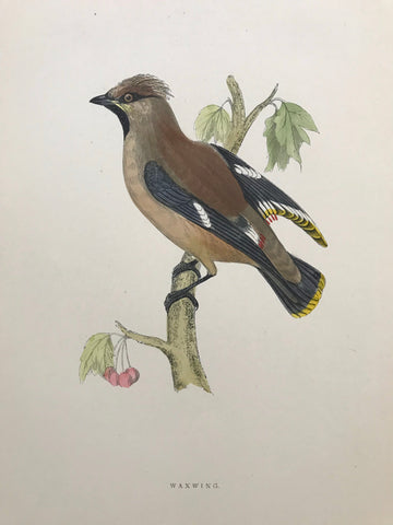 Professionally Mounted Original Antique (c1870) Hand Coloured Plate - Waxwing