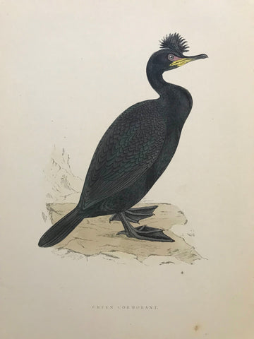 Professionally Mounted Original Antique (c1870) Hand Coloured Plate - Green Cormorant