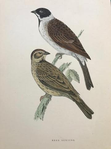 Professionally Mounted Original Antique (c1870) Hand Coloured Plate - Reed Bunting