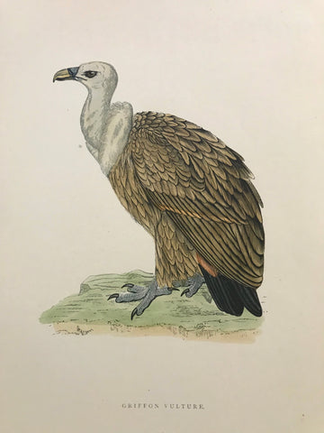 Professionally Mounted Original Antique (c1870) Hand Coloured Plate - Griffon Vulture