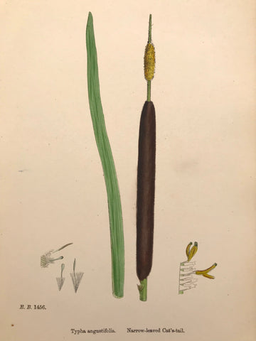 Professionally Mounted Original Antique (c1883) Hand Coloured Plate - Typha angustifolia