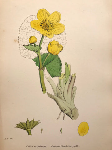 Professionally Mounted Original Antique (c1883) Hand Coloured Plate - Caltha eu-palustris