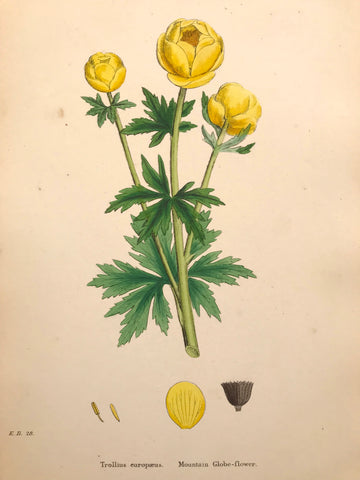 Professionally Mounted Original Antique (c1883) Hand Coloured Plate - Trollius europaeus.