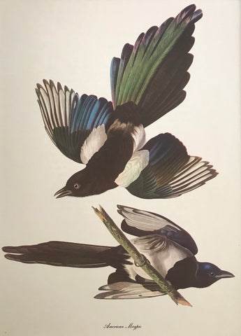 Professionally Mounted Vintage Audubon Chromolithograph - American Magpie
