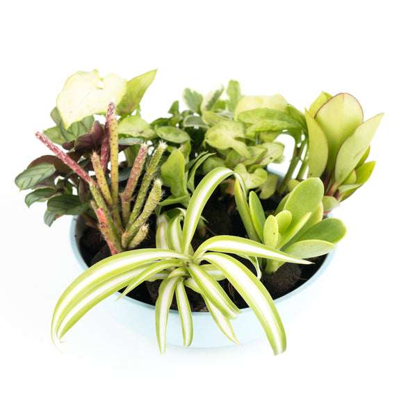 Assorted Plug Pack of 5 House Plants [product-vendor]- Pilea Place House Plant Store Melbourne Sydney Australia Canberra Brisbane Victoria New South Wales