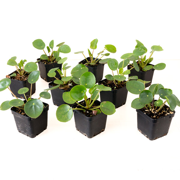 Small Pilea Peperomioides! [product-vendor]- Pilea Place House Plant Store Melbourne Sydney Australia Canberra Brisbane Victoria New South Wales