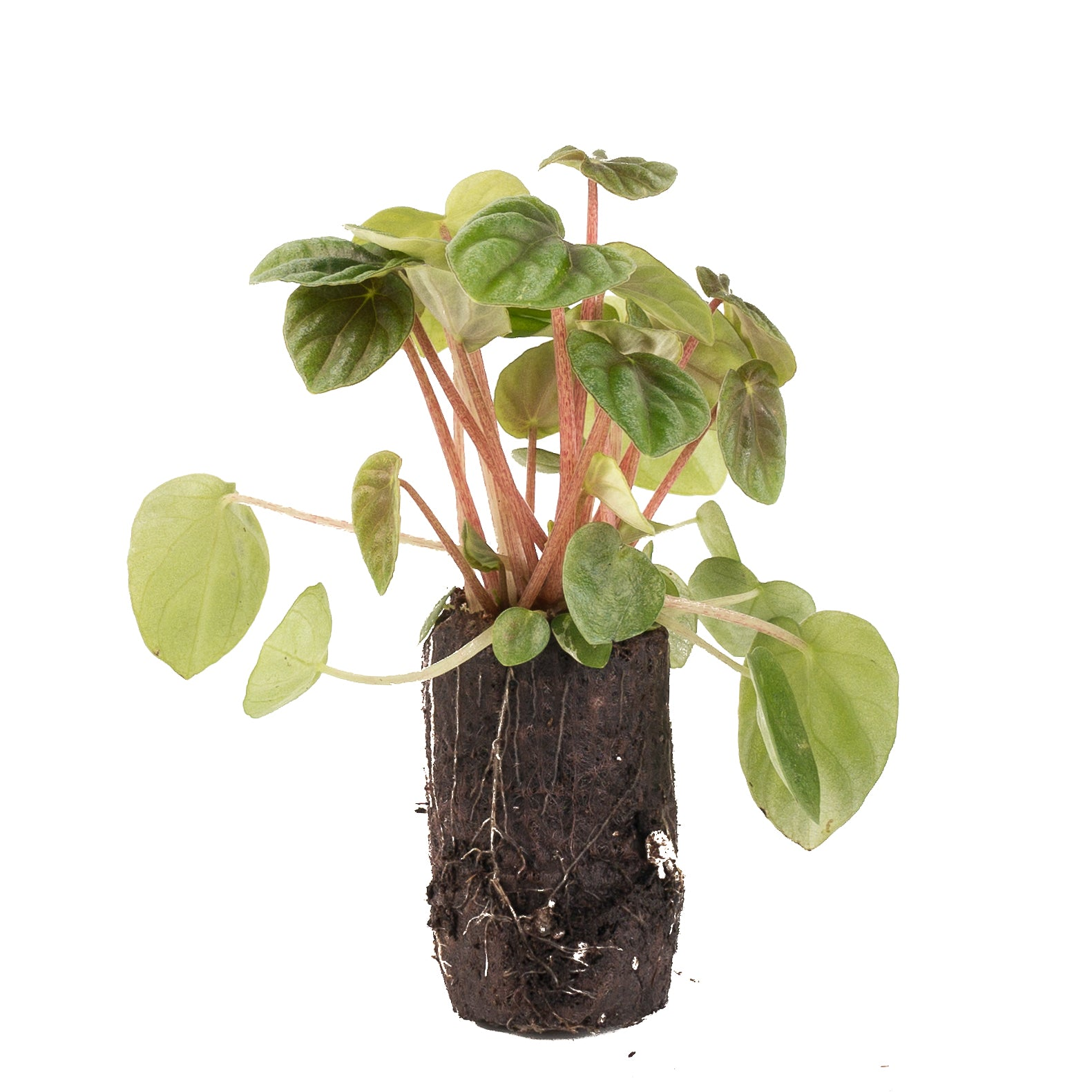 Peperomia Lilian [product-vendor]- Pilea Place House Plant Store Melbourne Sydney Australia Canberra Brisbane Victoria New South Wales