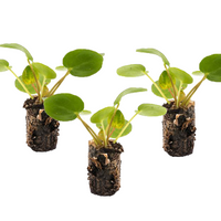3  Pilea Plug Pack [product-vendor]- Pilea Place House Plant Store Melbourne Sydney Australia Canberra Brisbane Victoria New South Wales