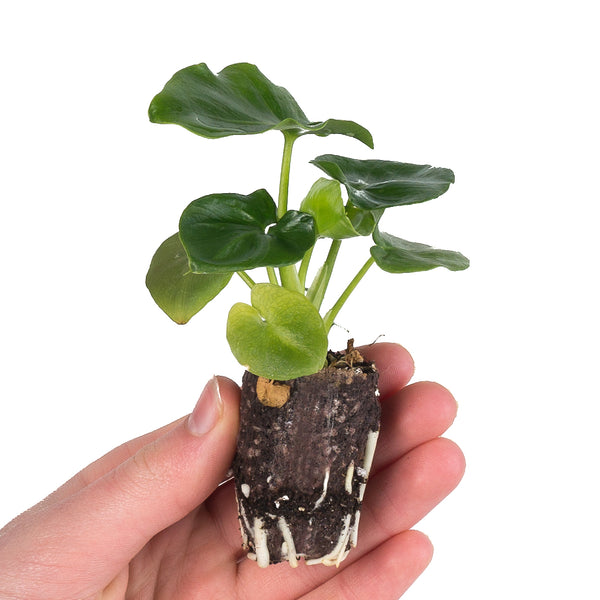 Philodendron Super Atom [product-vendor]- Pilea Place House Plant Store Melbourne Sydney Australia Canberra Brisbane Victoria New South Wales