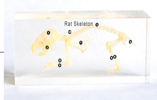 Resin specimen - Rat Skeleton