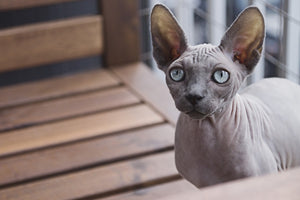 7 Tips To Care Your Sphynx Cat