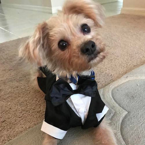 Yorkie Black Wedding Costume