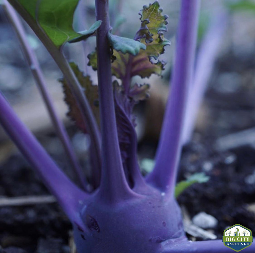 Growing Kohlrabi