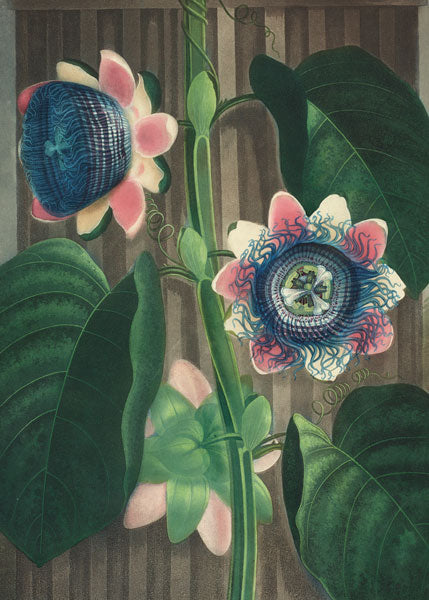 Bodleian Library-Card-The Quadrangular Passion Flower
