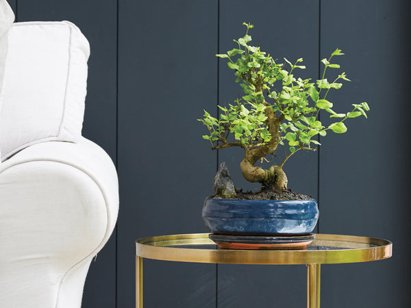 The Concept of Bonsai Trees: How To Choose Your Bonsai Pot