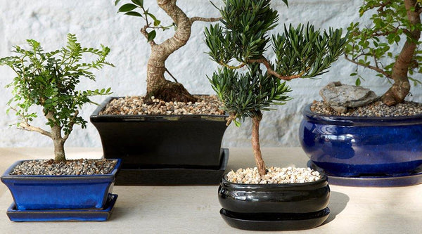 The Concept of Bonsai Trees: How to repot your bonsai - Gardenesque