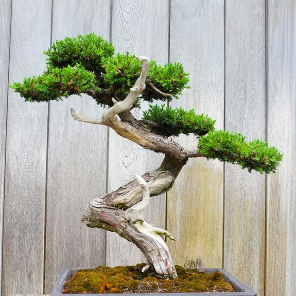 The Concept of Bonsai Trees: Essential Information on Plantation & Care