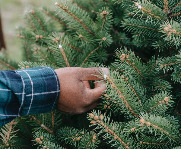 Our tips for choosing the perfect Christmas tree and how to care for it - Gardenesque