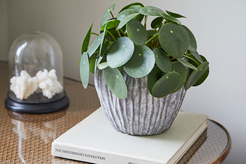 How to care for a Pilea Peperomioides - Chinese Money Plant