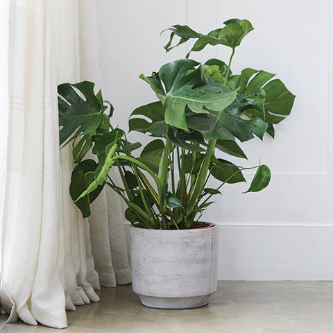 How to care for a Monstera Deliciosa - Swiss Cheese Plant