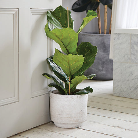 How to care for a Ficus Lyrata - Fiddle Leaf Fig